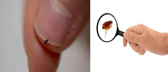 Eco-friendly Flea Control Treatment Services