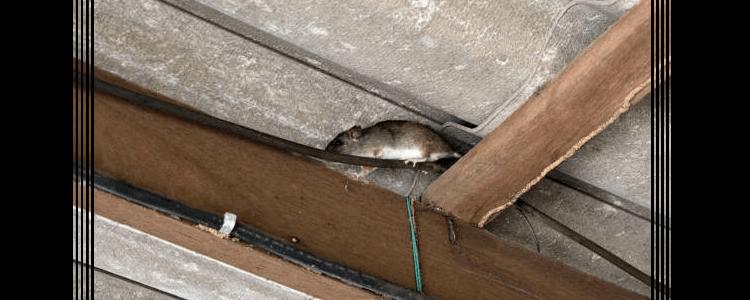 Rodent Control Homebush